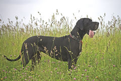 Dog in a high meadow with tongue out Stock Image