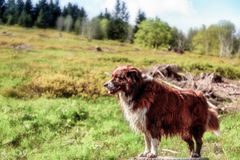 Dog on a Hike at Feldberg Mountain in Spring Stock Image