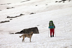 Dog and hiker in snow mountains at gray spring day. Royalty Free Stock Photography