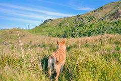 Dog hiking in field at mountains Royalty Free Stock Images