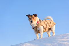 Dog hiking at winter mountains. Jack Russell Terrier on the top of the rock Stock Photography