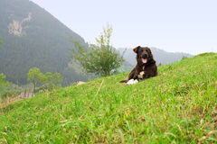 Dog on the hill. Dog resting on green grass on the hill royalty free stock images