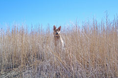 Dog on Hill Royalty Free Stock Photos