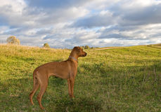 Dog on the hill. Sun sky Royalty Free Stock Photo