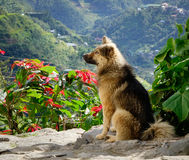 A dog on the hill in Ifugao, Philippines Royalty Free Stock Photo