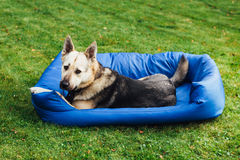 Dog on his bed, green grass background Royalty Free Stock Image
