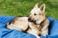 Dog on his bed, green grass background Royalty Free Stock Images
