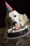 Dog and his birthday cake Royalty Free Stock Photos