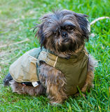 Dog in his coat Royalty Free Stock Image