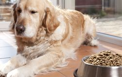Dog with his food. Golden retriver close to his cavity of fodder royalty free stock photo