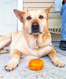 Dog with his pumpkin Royalty Free Stock Photos