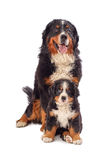 Dog with his puppy Royalty Free Stock Photography
