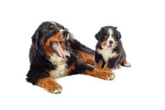 Dog with his puppy Royalty Free Stock Photos