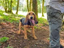 A dog with his tongue sticking out with the owner in the forest on the hunt stock photography