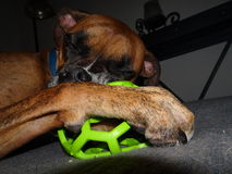 A dog and his toy Royalty Free Stock Image