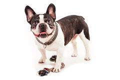 Dog with his toy. On white background Stock Photos