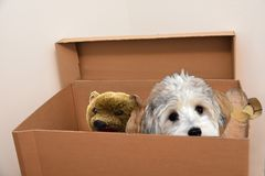 Dog and his toys cuddling in a moving box. Havanese puppy and his favourite toys sitting close to each other in a moving box royalty free stock photos