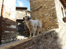 Dog in the historical center. Setter on a wall of the old town Stock Photography