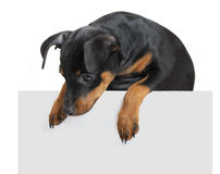 Dog hold empty pape Royalty Free Stock Photos