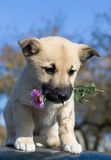 Dog hold flower in mouth 2 Stock Images