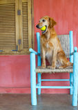 Dog holding  ball Royalty Free Stock Photography