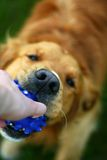 Dog holding a ball Stock Photography