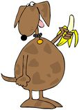 Dog Holding A Banana. This illustration depicts a dog holding a peeled banana Royalty Free Stock Photos