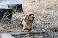 Dog holding a big stick Royalty Free Stock Photography