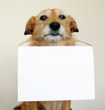 Dog holding a blank sign. Cute scruffy terrier dog holding a blank sign royalty free stock images