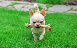 Dog holding bone Stock Image