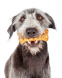 Dog Holding Bone Treat in Mouth. Large terrier mixed breed dog holding a bone shaped biscuit in his mouth Stock Images