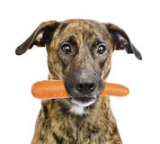 Dog holding carrot in its mouth. isolated on white background Royalty Free Stock Photography
