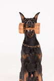 Dog holding dumbbell with click training Royalty Free Stock Photography