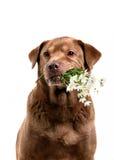 Dog holding flowers Stock Photo