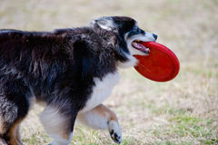 Dog holding Frisbee Royalty Free Stock Photo
