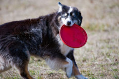 Dog holding Frisbee in mouth Stock Images