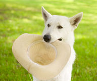 Dog holding hat in his mouth Stock Images