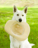 Dog holding hat in his mouth on green grass Stock Photography