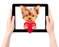 Dog holding heart with tablet computer. Valentine puppy dog holding heart with tablet �omputer Stock Images