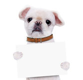 Dog holding in his paws white banner. Isolated on the white background Royalty Free Stock Photos