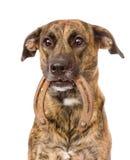 Dog holding horseshoe in its mouth. isolated on white background Royalty Free Stock Photography