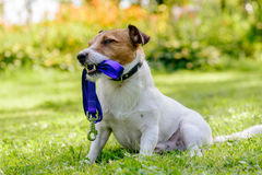 Dog holding its leash in mouth wishes to go for a walk. Jack Russell Terrier with blue lead at a lawn Stock Photo