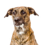 Dog holding a keys in its mouth. isolated on white background Stock Image