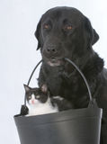 Dog holding a kitten Stock Image