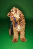Dog Holding Leash In Mouth Stock Image