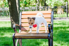 Dog holding in mouth red tulip on park bench Stock Images