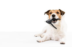 Dog holding nail clipper in mouth needs nails trimming Royalty Free Stock Photography