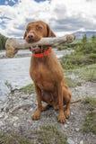 Dog holding oversized bone Royalty Free Stock Photography