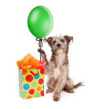 Dog Holding Party Balloon With Gift Royalty Free Stock Images