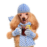 Dog holding in the paws of mulled wine. Stock Photo